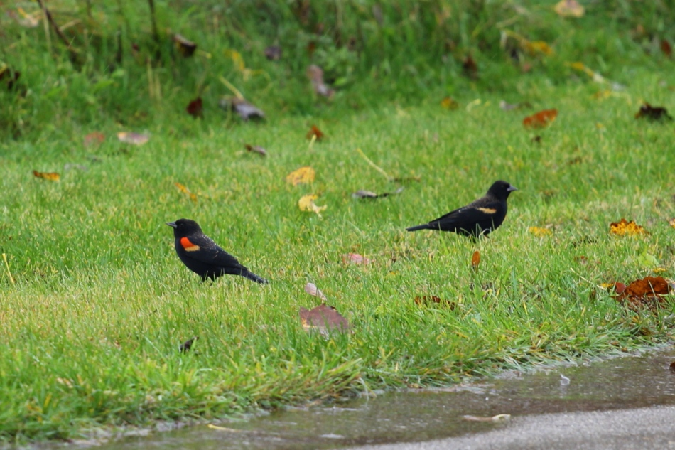 Male red-winged blackbirds