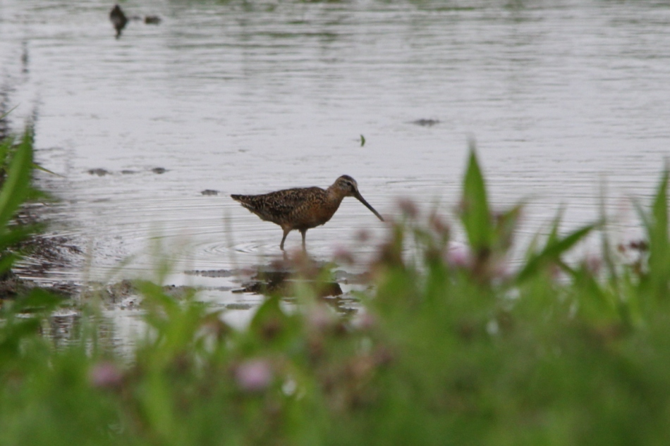 Short-billed Dowitcher, Limnodromus griseus