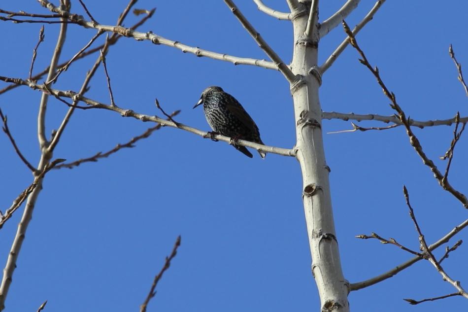 English Starling