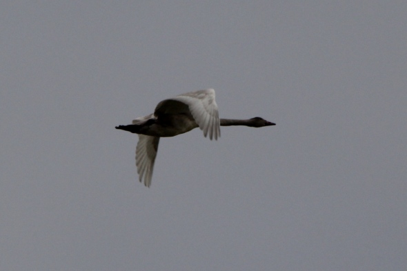 Juvenile Trumpeter swan in flight
