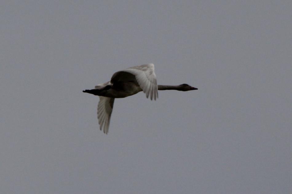 Juvenile Trumpeter swan in flight