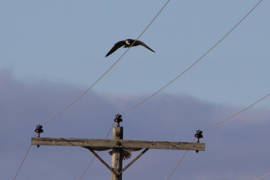 Peregrine falcons in flight