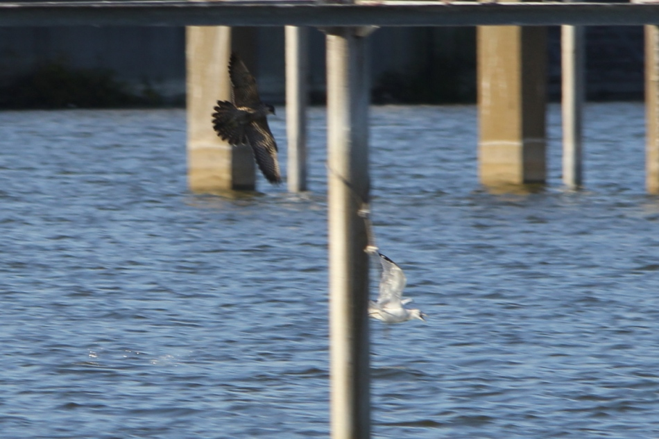 Peregrine falcon chasing a gull