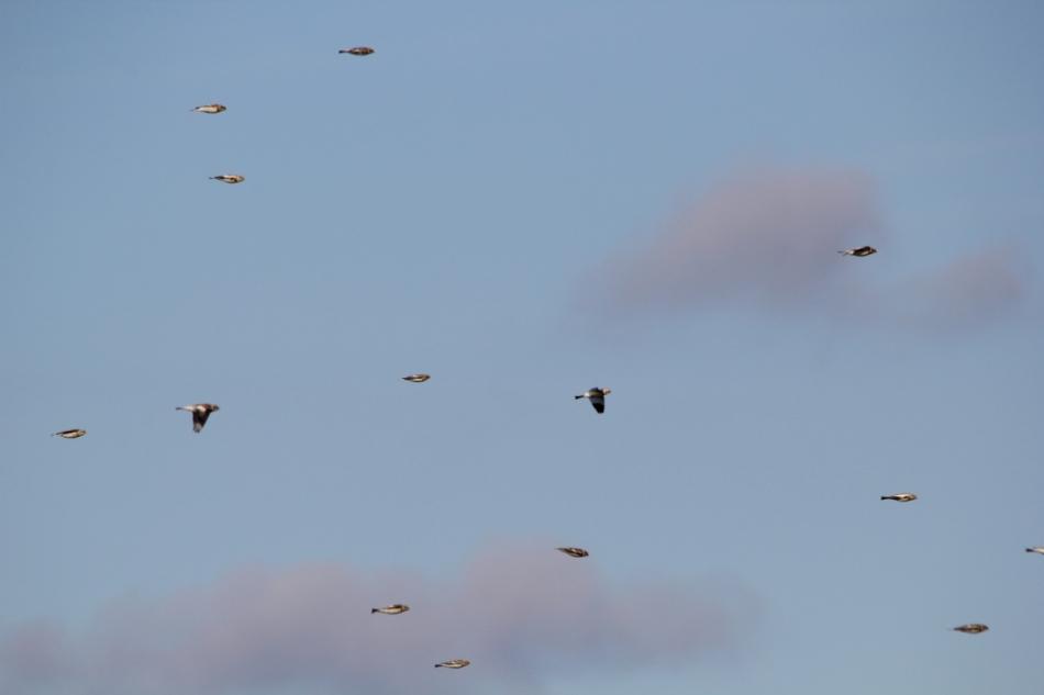 Snow buntings in flight