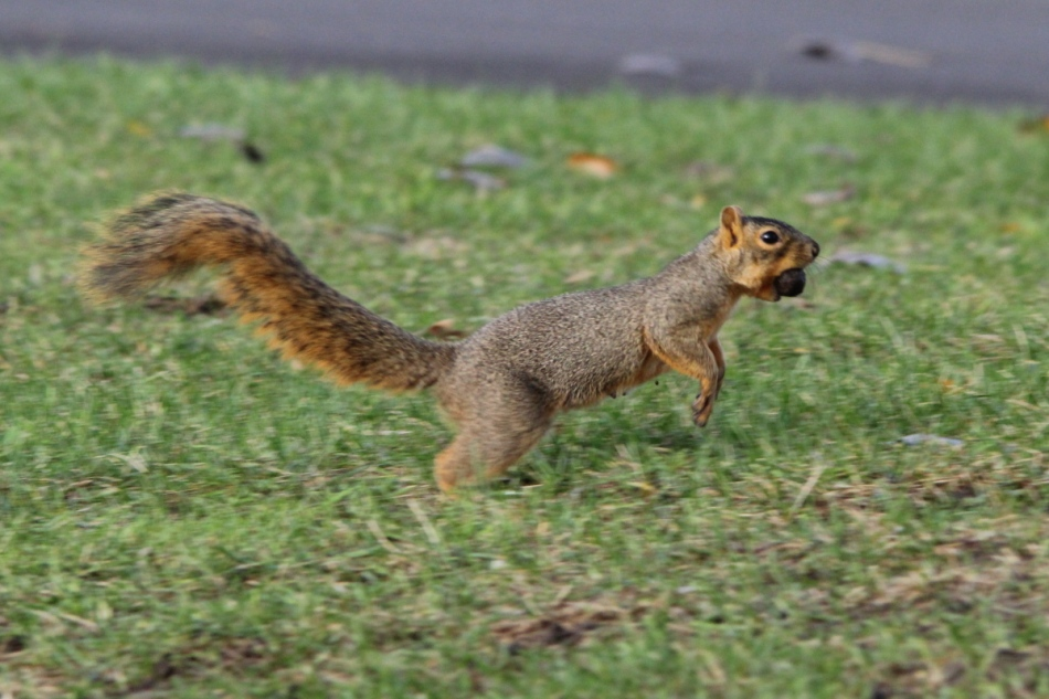 Fox squirrel on the run