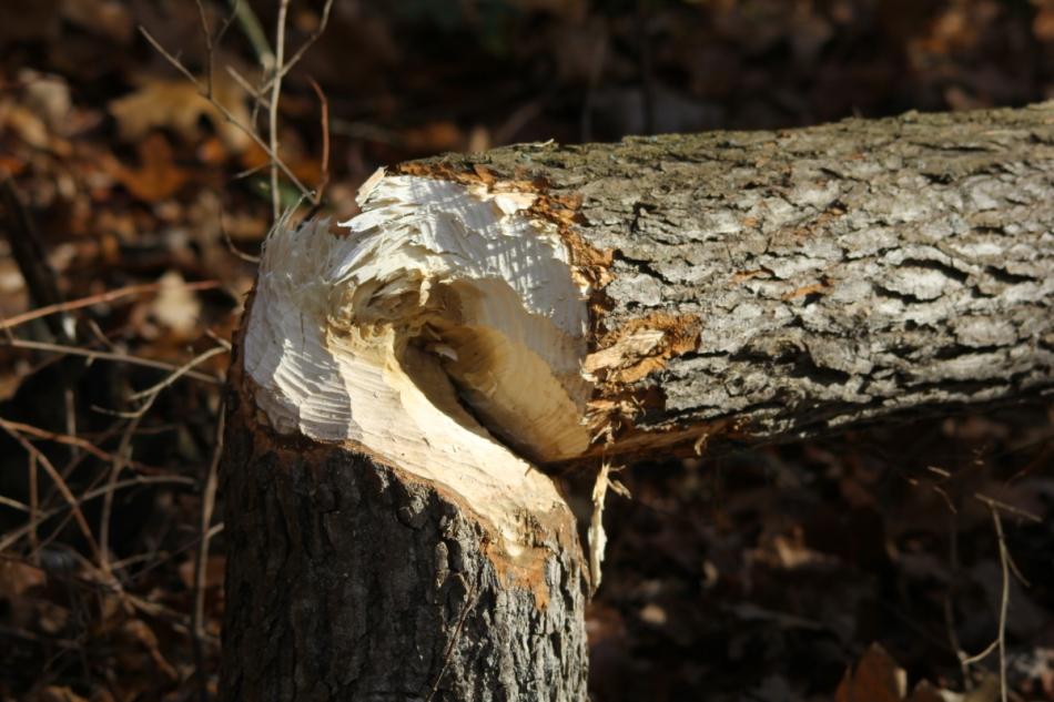 Chew marks on a fallen tree