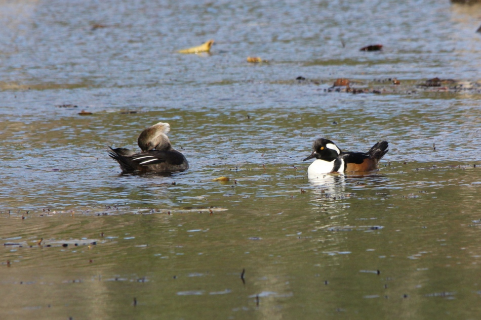 A pair of hooded mergansers
