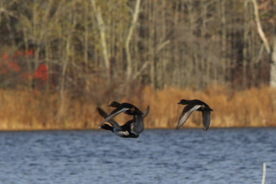 Ring-necked ducks in flight
