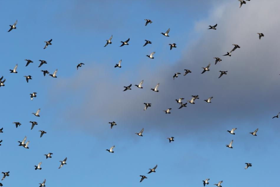 Ring-necked ducks in flight