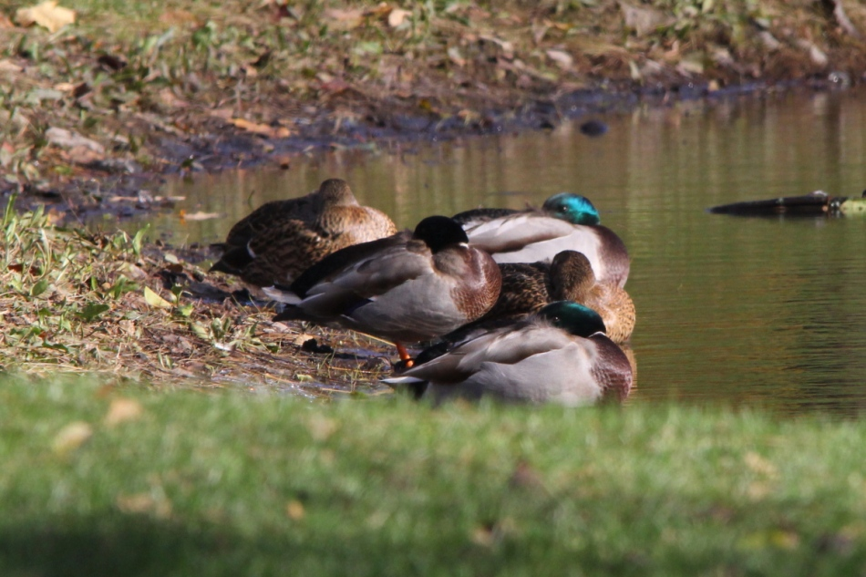 Mallards keeping one eye open