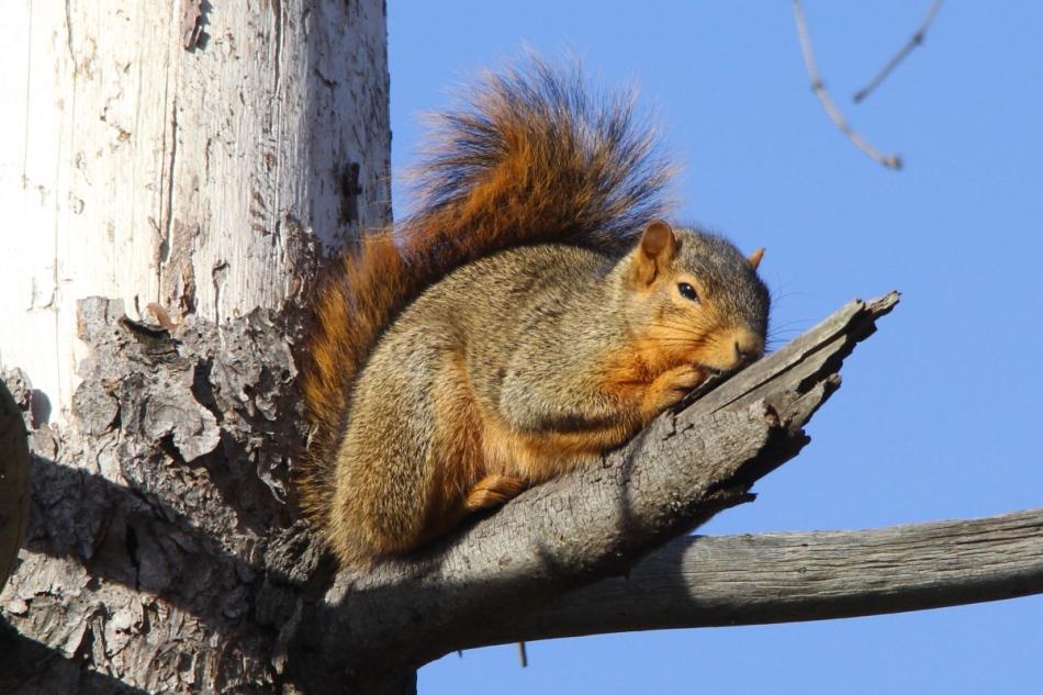 Fox squirrel dozing in the sun