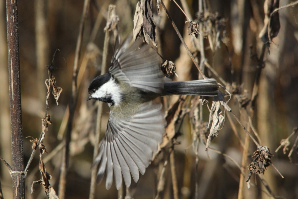Black capped chickadee in flight