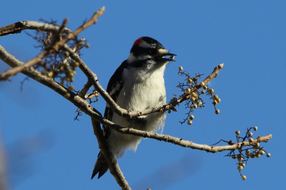 Downy woodpecker eating berries