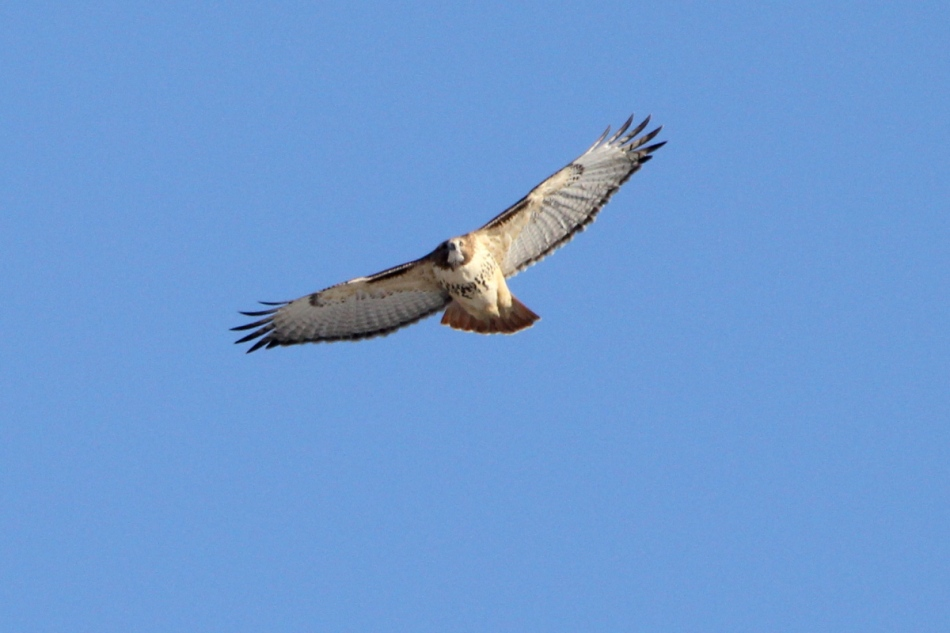 Female red-tailed hawk in flight