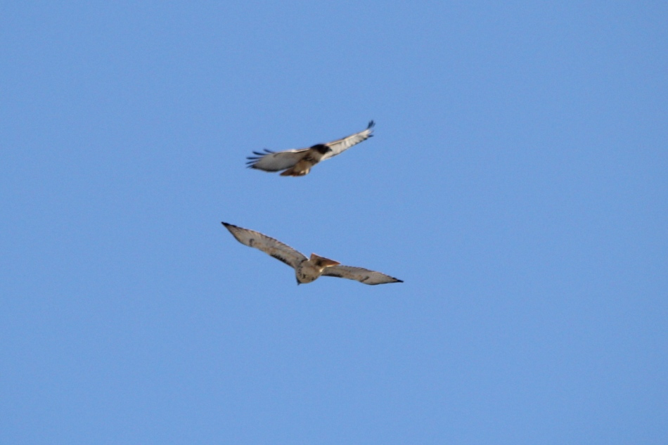 A pair of red-tailed hawks in flight