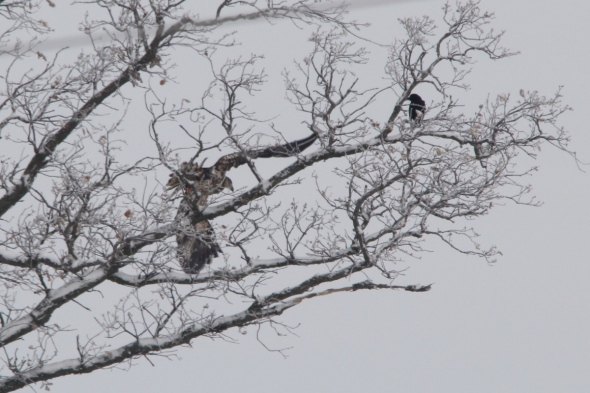 Crow harassing a juvenile bald eagle