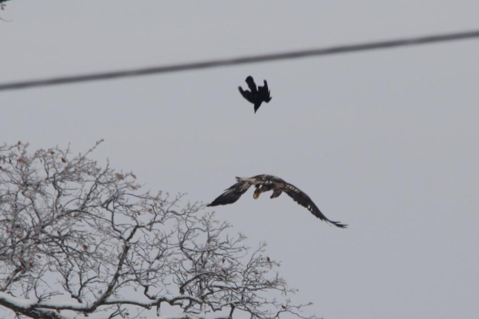 Crow harassing a juvenile bald eagle