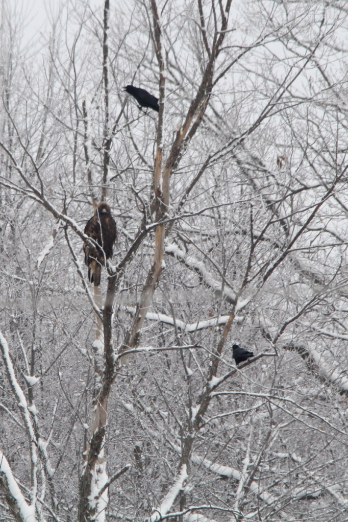 Crow harassing a golden eagle