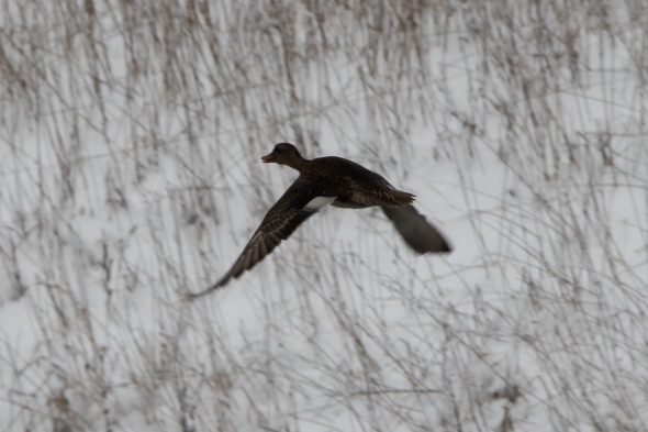 Female blue winged teal in flight