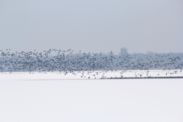 Thousands of Canada geese