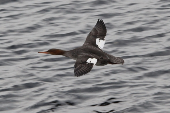 Female red breasted merganser in flight
