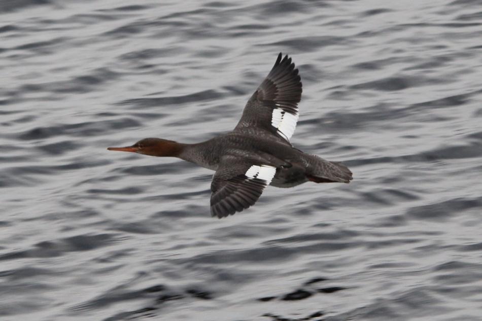 Female red breasted merganser in flight