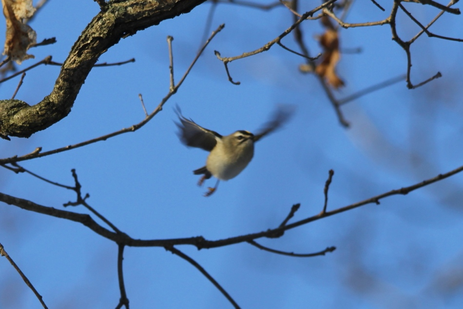 Golden-crowned kinglet in flight