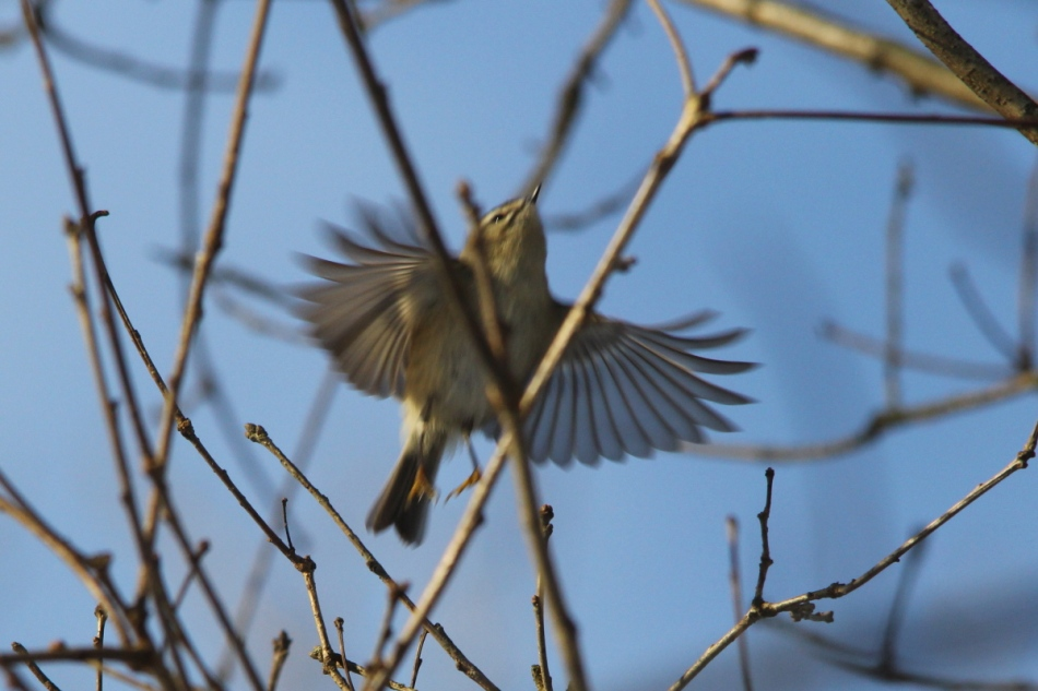 Golden-crowned kinglet in flight