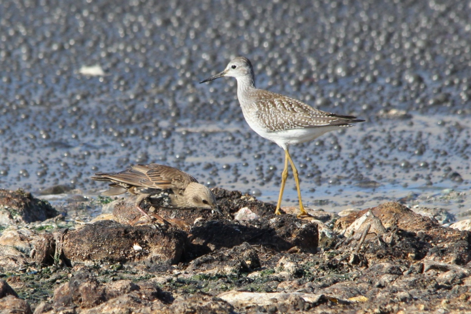 Stilt Sandpiper and European starling for size