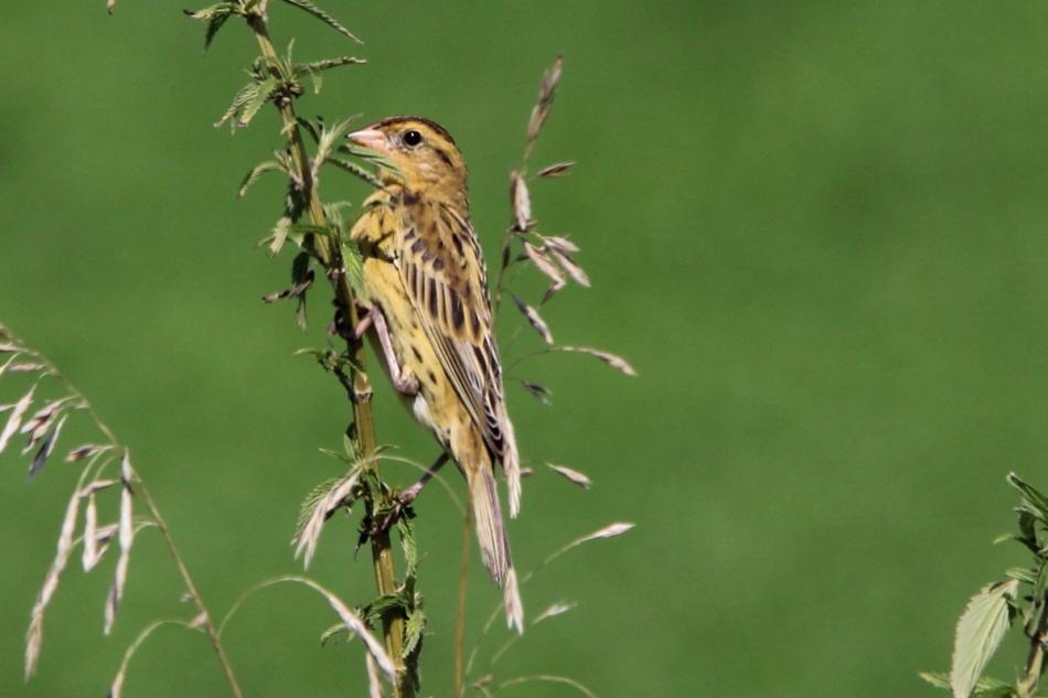 Nelson's Sparrow, Ammodramus nelsoni