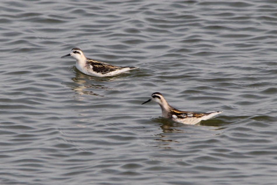 Red-necked phalarope, non-breeding