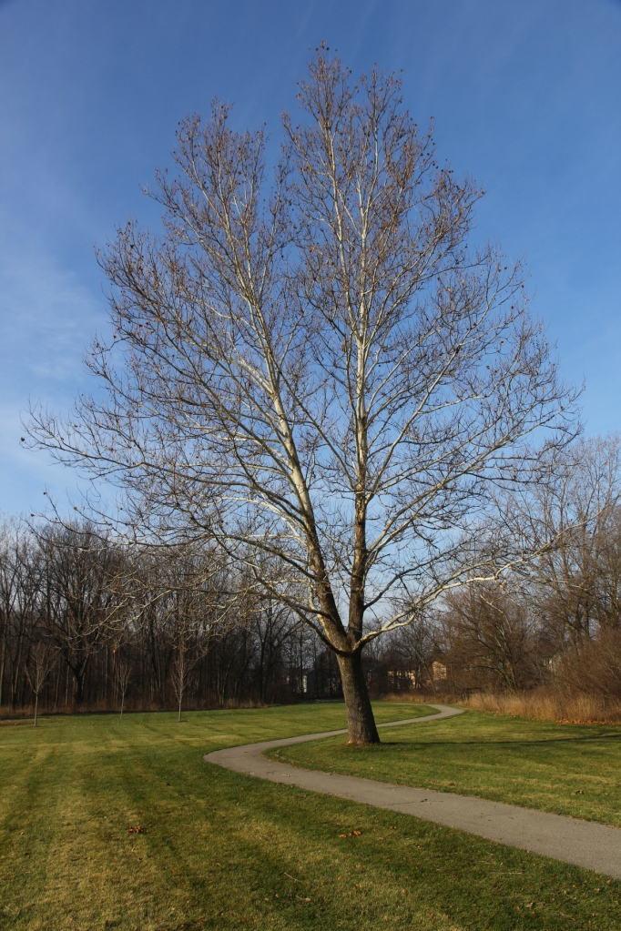 Ode to a sycamore tree