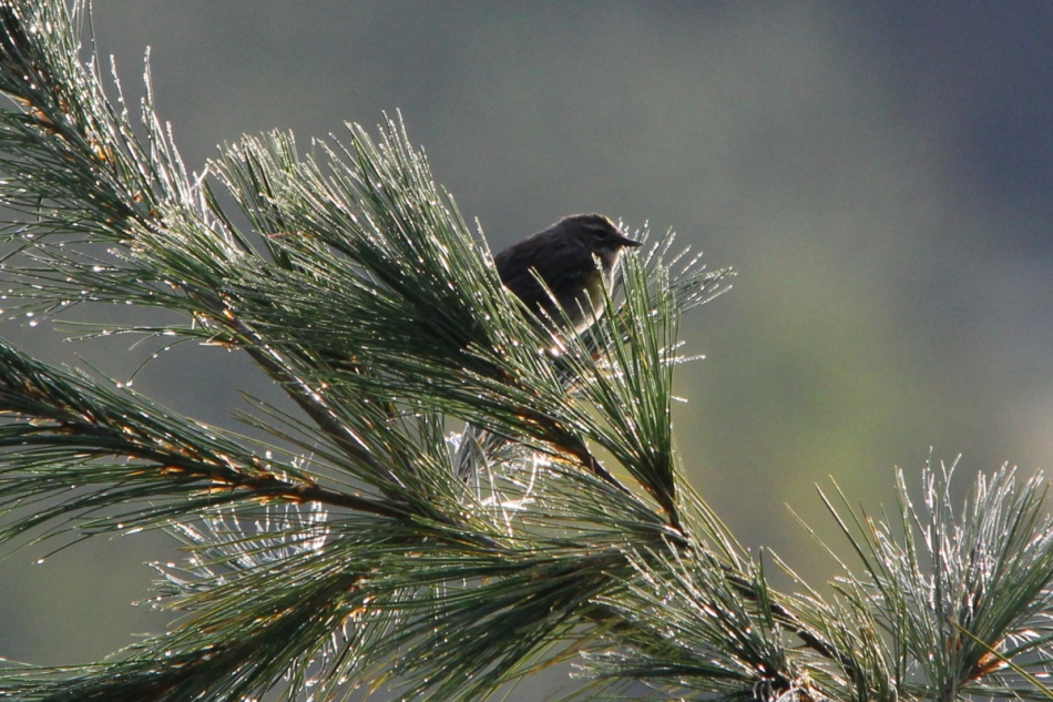 Unidentified warbler on a dewy morning