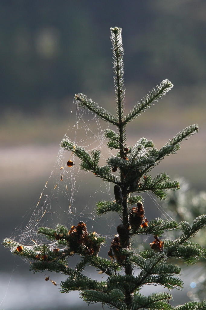 Pine and spider webs covered in dew