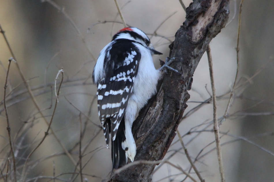 Downy woodpecker, lower light