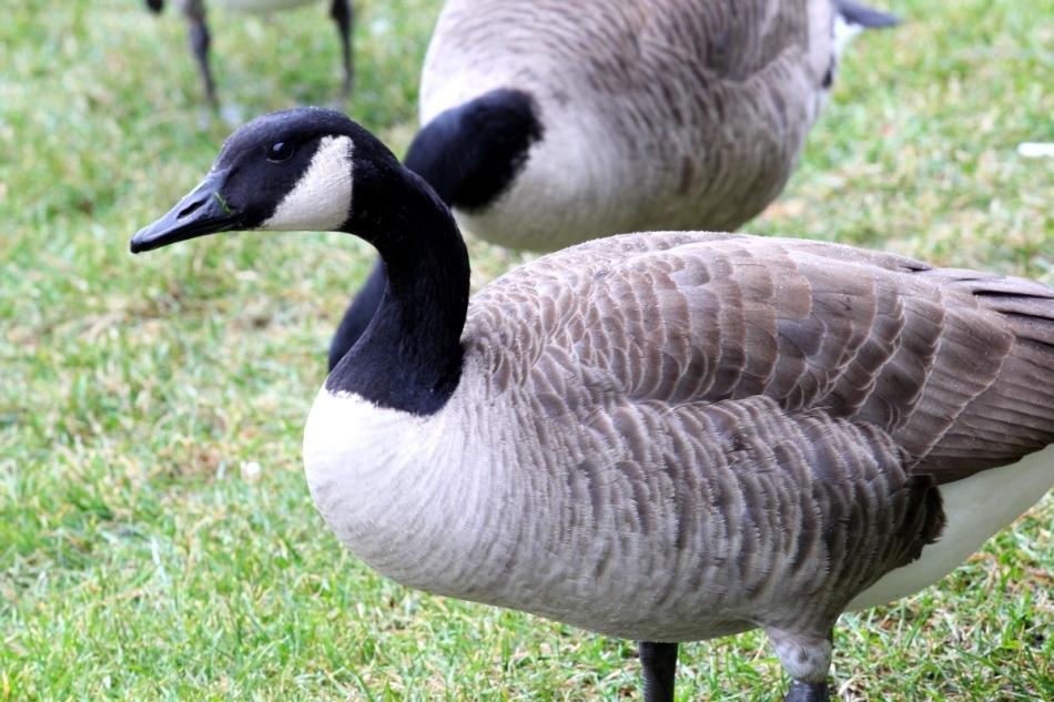 Canada goose in the rain