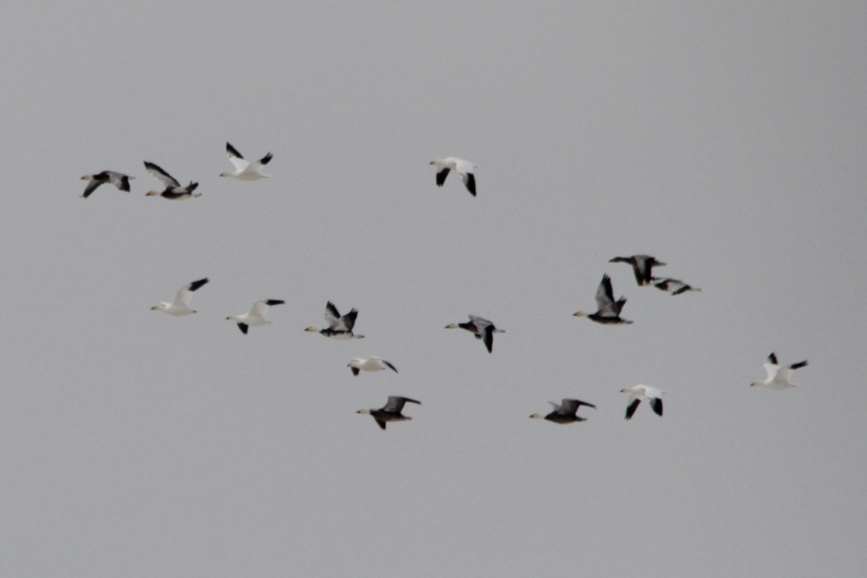"Snow geese, the darker ones are color variant called the ""Blue Goose."""