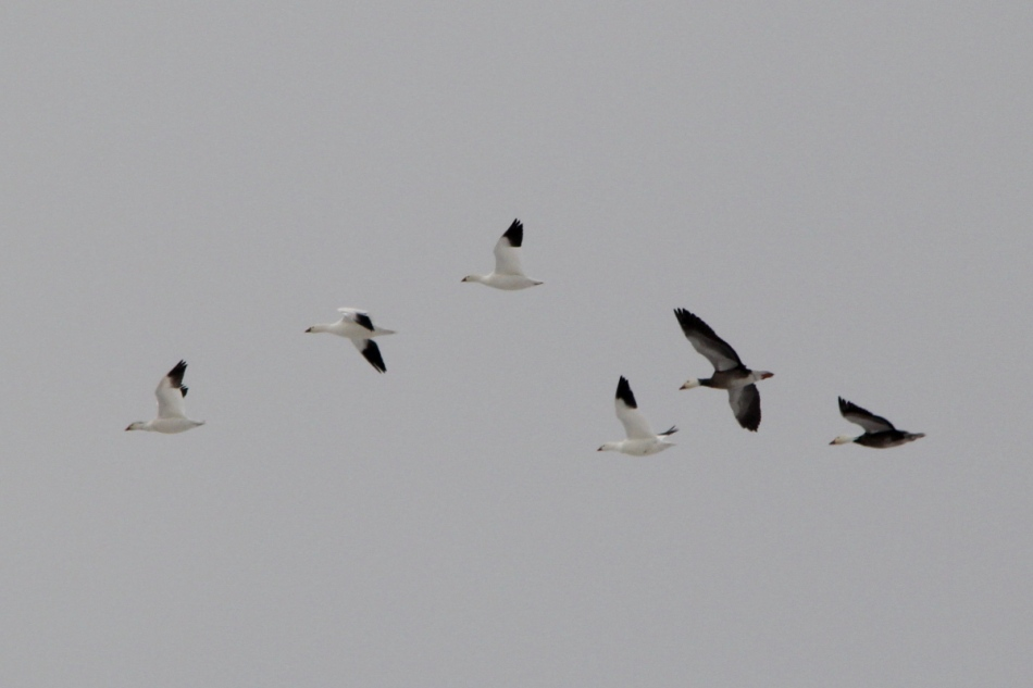 "Snow geese, the darker ones are a color variant called the ""Blue Goose."""