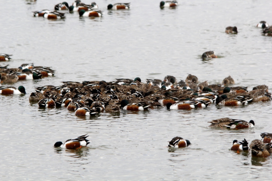 Northern shovelers forming a feeding raft