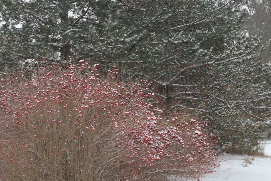Snow on highbush cranberries and white pines.