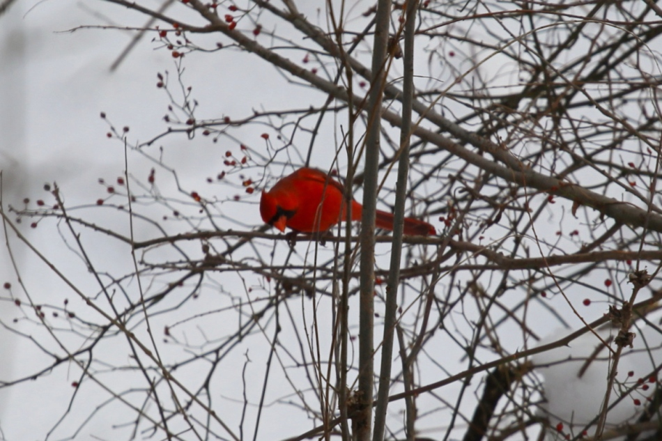 Male northern cardinal eating rose hips