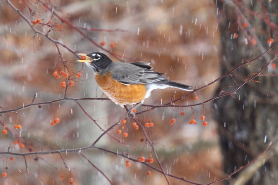 American Robin eating a berry