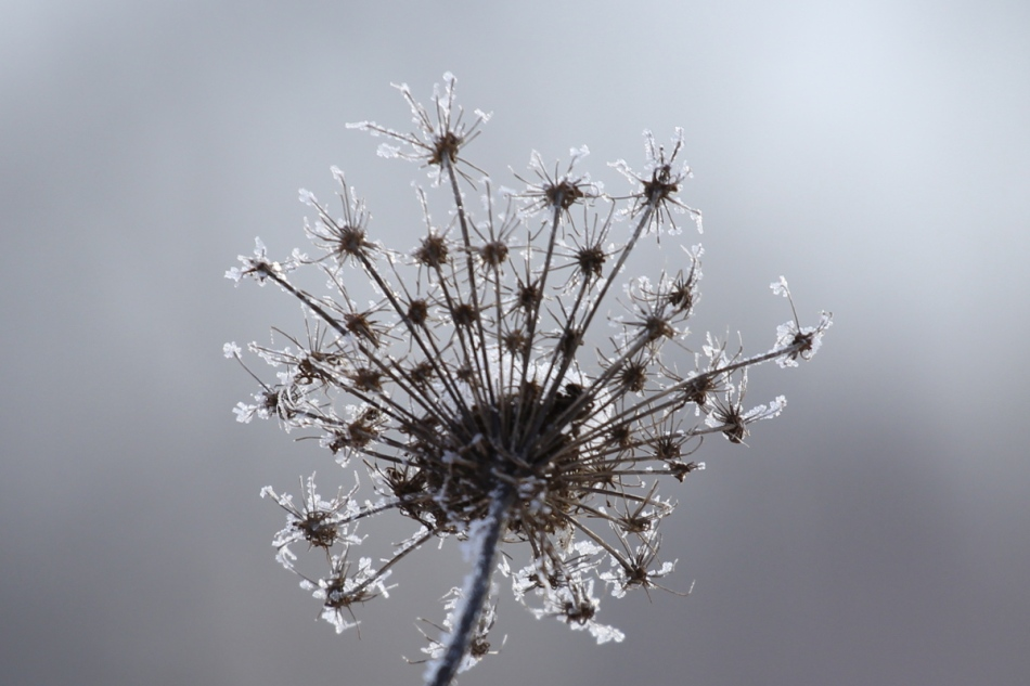 Frost on Queen Anne's lace