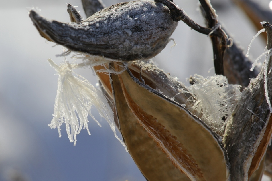 Milkweed seeds and pods
