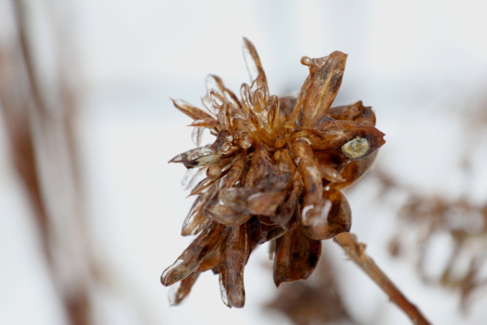 Ice on a dried plant