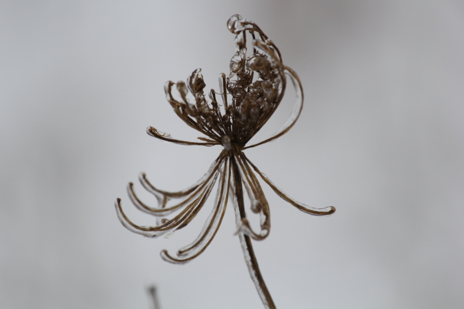 Ice on Queen Anne's lace