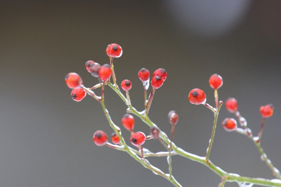 Ice on rose hips