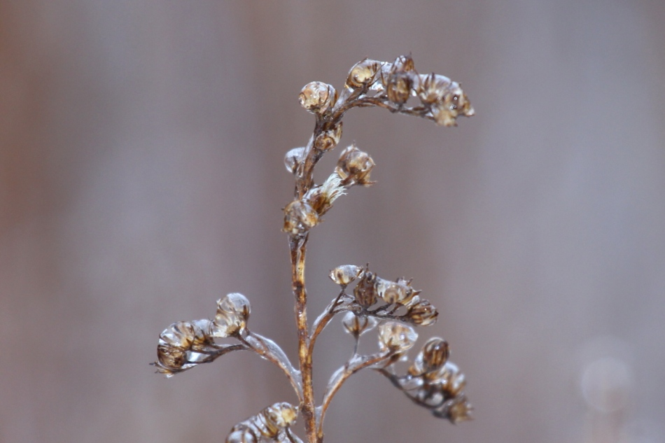 Ice on goldenrod
