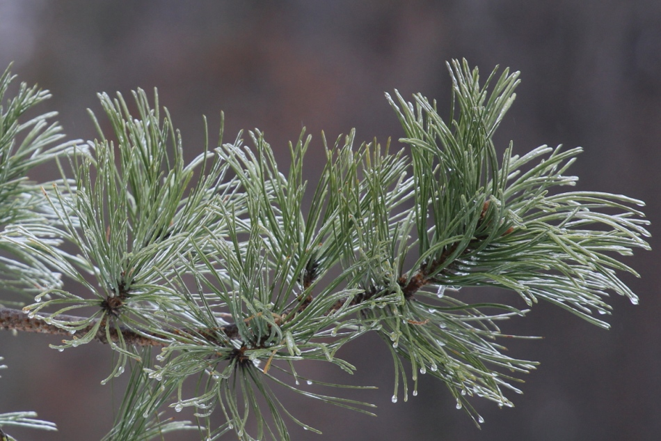 Ice on a white pine