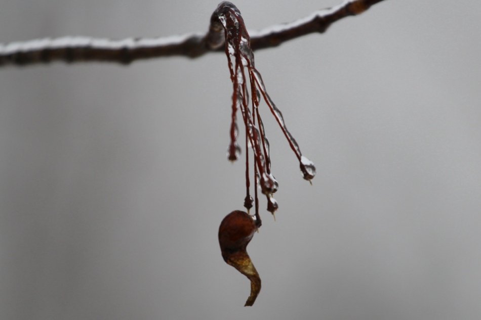 Ice on seed stems